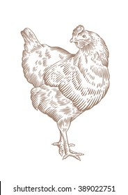 Drawing of standing brown chicken on the white background