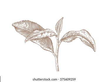 Drawing of tea branch with leaves on the white background