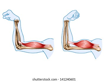 drawing, vector, medical, didactic board of anatomy of human muscular system, supinating action of biceps brachii, forearm in pronated and supinated with the elbow flexed