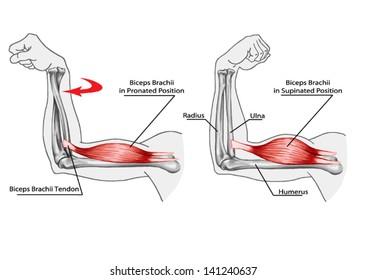 arm tendons diagram biceps brachii images  stock photos   vectors shutterstock  biceps brachii images  stock photos