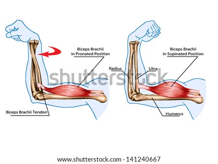 Drawing Vector Medical Didactic Board Anatomy Stock Vector (Royalty ...