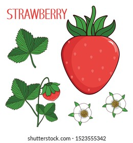 Drawn berry of strawberry, strawberry`s flowers, leaf, leaves and sprout, the isolated vector collection, cartoon herbarium set.