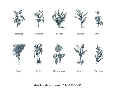 Drawn spice herbs set in engraving style. Botanical illustrations of organic, eco plants. Sketches collection of culinary ingredients in vector. Used for farm sticker, shop label etc.