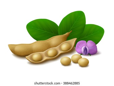 Dried soy pods, ripe soybeans, flower and leaves isolated on white background. Vector illustration.