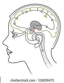 Driving brain and sensory organs on a white background
