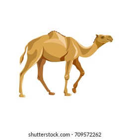 Dromedary, one-humped camel. Vector illustration isolated on white background