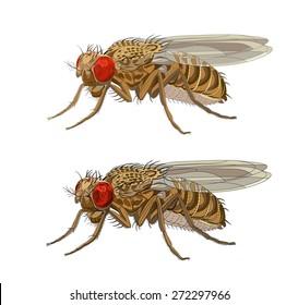 Drozophila melanogaster, common fruit fly or vinegar fly