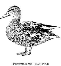 A duck is posing (vector), Russia