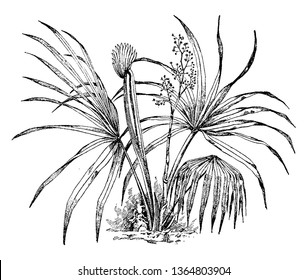 It is a dwarf palm tree. It is a small species of palm. It is native to the deep south-eastern and south-central United States and north-eastern Mexico, vintage line drawing or engraving illustration.