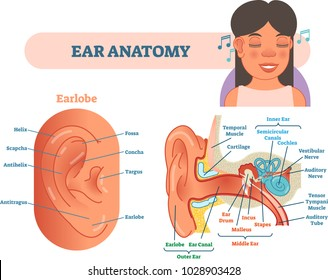 Ear diagram images stock photos vectors shutterstock ear anatomy medical vector illustration with outer middle and inner ear cross section diagrams ccuart Choice Image
