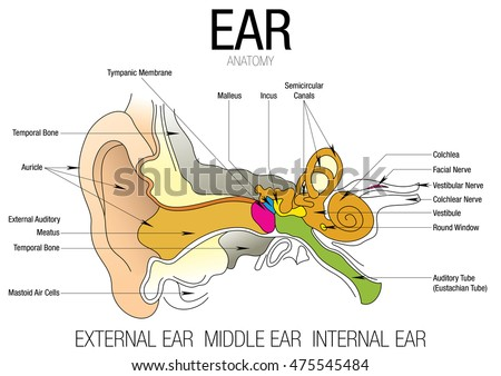 EAR ANATOMY Parts Name Stock Vector (Royalty Free) 475545484 ...