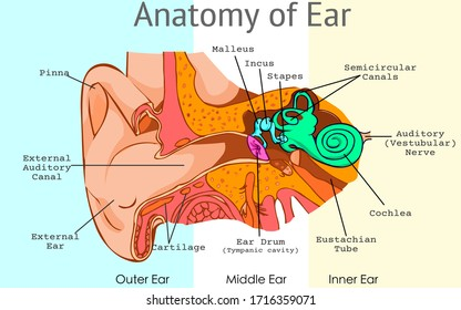 Ear anatomy, parts. Structure of outer, middle inner ear diagram. Eardrum, semicircular, bones, ossicles, and malleus incus stapes, tympanic cavity. Pieces light background. Draw Illustration Vector.