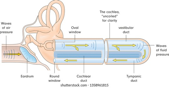 ear cochlea duct vector