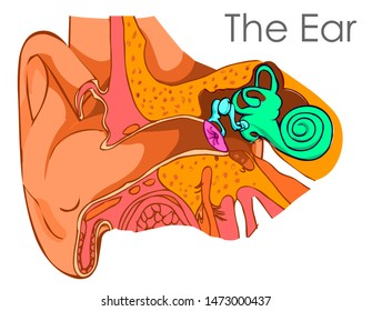 Ear diagram. Brush drawing vector.  Ear anatomy with its components.  Eardrum, Ossicles , three tiny bones that are attached Cavity, also called the tympanic cavity. medical vector illustration