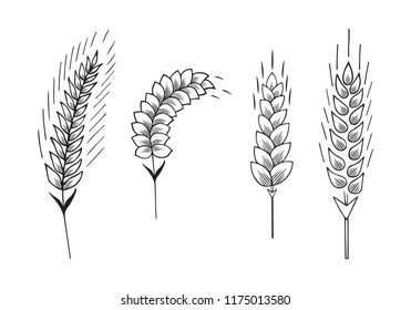 Ears of barley, malt, wheat. Grain cereal crop for beer. Vector isolated illustration.