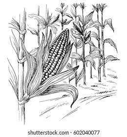 Ears of corn in a field in summer before harvest Hand drawn and converted to vector Illustration.