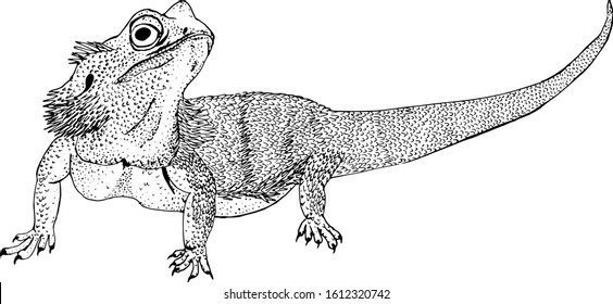 Eastern Bearded dragon or Pogona barbata lizard sketch style vector illustration. Hand drawn engraving imitation.