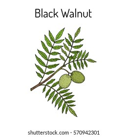 Eastern black walnut (Juglans nigra). Hand drawn botanical vector illustration