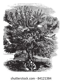 Eastern Black Walnut or Juglans nigra, vintage engraved illustration. Trousset encyclopedia (1886 - 1891).