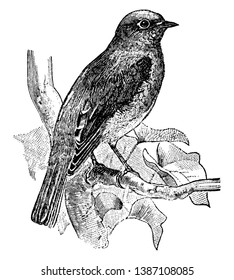 Eastern Bluebird is a medium sized bird in the Turdidae family of thrushes, vintage line drawing or engraving illustration.