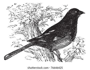 Eastern Towhee or Chewink or Pipilo erythrophthalmus, vintage engraving. Old engraved illustration of an Eastern Towhee. Trousset encyclopedia.