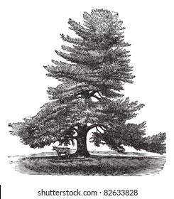 Eastern White Pine, Pinus Strobus, White Pine, Northern White Pine, Soft Pine, Weymouth Pine engraved illustration. Animal standing next to a Pinus Strobus tree. Trousset encyclopedia 1886 - 1891