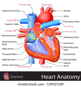 easy to edit vector illustration of anatomy of heart