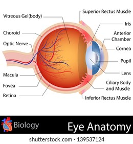 easy to edit vector illustration of anatomy of eye