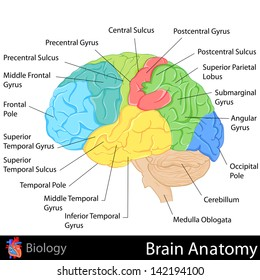 easy to edit vector illustration of Brain Anatomy diagram