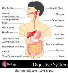 Human digestive system images stock photos vectors shutterstock easy to edit vector illustration of digestive system ccuart Image collections