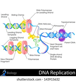 easy to edit vector illustration of DNA replication