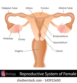 easy to edit vector illustration of female reproductive system