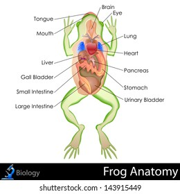 Animal digestive system stock images royalty free images vectors easy to edit vector illustration of frog anatomy ccuart Images