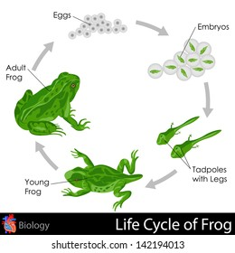 easy to edit vector illustration of Lifecycle of Frog