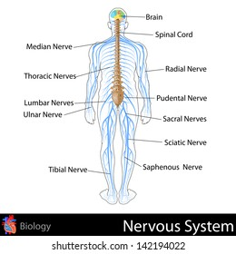 easy to edit vector illustration of nervous system