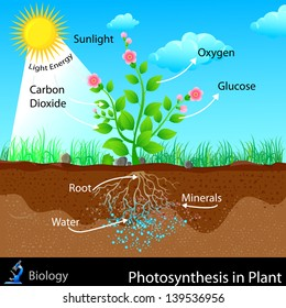 easy to edit vector illustration of photosynthesis in plant