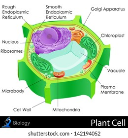 easy to edit vector illustration of Plant Cell diagram
