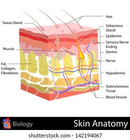 easy to edit vector illustration of Skin Anatomy diagram