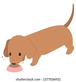 eating brown Dachshund