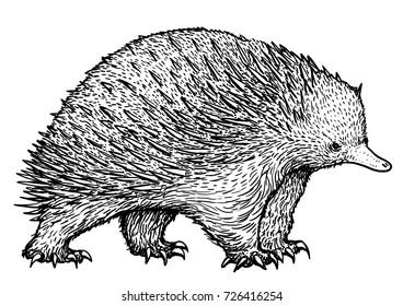 Echidna illustration, drawing, engraving, ink, line art, vector