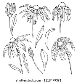 Echinacea flower in graphic style