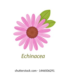 Echinacea flowers and leaves healthy medicinal plant white isolated. Echinacea is an immune protection of the body, powerful antioxidant. Use in medicine, pharmaceutics, cosmetology, cooking vector