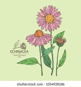 Echinacea: plant, leaves and echinacea flowers. Cosmetics and medical plant. Vector hand drawn illustration.