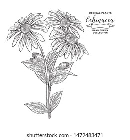 Echinacea purpurea plant. Hand drawn flowers and leaves of echinacea. Medical hebs collection. Vector illustration botanical. Vintage engraving.