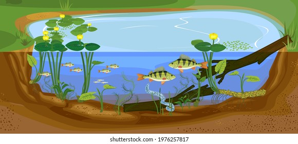 Ecosystem of pond. Development of perch (Perca fluviatilis) freshwater fish from egg to adult animal in natural habitat
