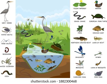 Ecosystem of pond with different animals (birds, insects, reptiles, fishes, amphibians) in their natural habitat. Schema of pond structure