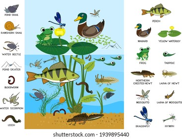 Ecosystem of pond. Diverse inhabitants of pond (fish, amphibian, leech, insects and bird) in their natural habitat. Cartoon animals living in pond