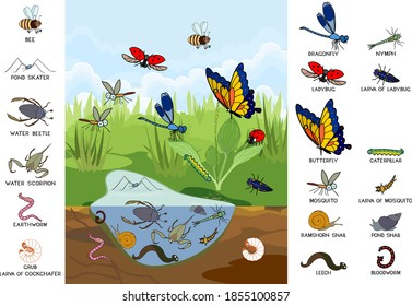 Ecosystem of pond. Insects and other invertebrates animals in their natural habitat. Schema of pond structure