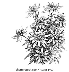 Edelweiss etching, rare flowers foliage