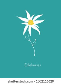Edelweiss flower on blue background.